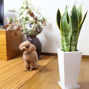 観葉植物 空気を浄化するといわれているサンスベリアのホワイト陶器鉢 7号 ストレート|bloom-s|16