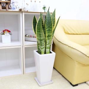 観葉植物 空気を浄化するといわれているサンスベリアのホワイト陶器鉢 7号 ストレート|bloom-s|17