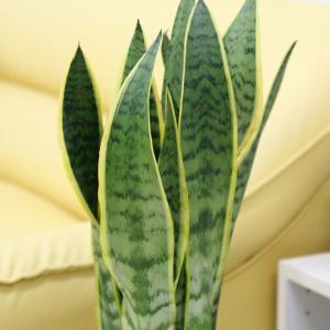 観葉植物 空気を浄化するといわれているサンスベリアのホワイト陶器鉢 7号 ストレート|bloom-s|03