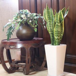 観葉植物 空気を浄化するといわれているサンスベリアのホワイト陶器鉢 7号 ストレート|bloom-s|04