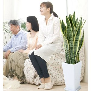 観葉植物 空気を浄化するといわれているサンスベリアのホワイト陶器鉢 7号 ストレート|bloom-s|05