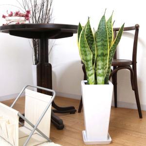 観葉植物 空気を浄化するといわれているサンスベリアのホワイト陶器鉢 7号 ストレート|bloom-s|06