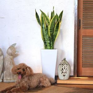 観葉植物 空気を浄化するといわれているサンスベリアのホワイト陶器鉢 7号 ストレート|bloom-s|07
