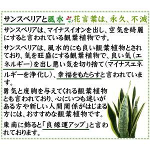 観葉植物 空気を浄化するといわれているサンスベリアのホワイト陶器鉢 7号 ストレート|bloom-s|09