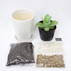観葉植物 子宝草(苗)プチ栽培セット「ホワイト鉢タイプ」+天然水晶付き+アンプル1本付き