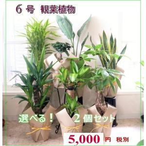 選べる 観葉植物 6号 2個セット ミリオンバンブー 幸福の木 パキラ ガジュマル等々