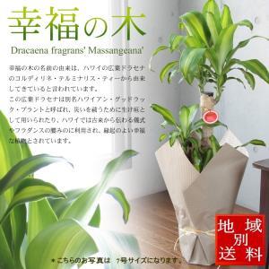 ドラセナ ジュレ 観葉植物 7号 【開店...