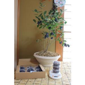 ブルーベリー  鉢植え  贈答用 4年 優秀樹 1鉢