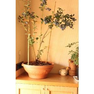 ブルーベリー  鉢植え  贈答用  5年 優秀樹  1鉢