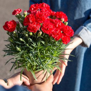 母の日 ギフト 花 プレゼント カーネーション 鉢植え 4号 選べるメッセージ付 [赤/ピンク] [ 母の日 ギフト 贈り物 ] ※受付締め切り:5/7(月)まで|bokunotamatebakoya|11