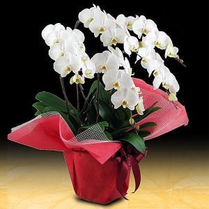 法人様に人気の胡蝶蘭です。女性1人で持つのは大変な、とても大きな胡蝶蘭です。新鮮で安心な胡蝶蘭をお届...