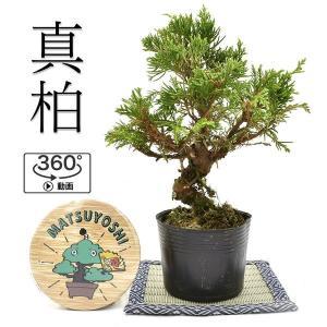 盆栽 糸魚川真柏 素材 苗木 15cm ミニ盆栽 小品盆栽  bonsai 販売
