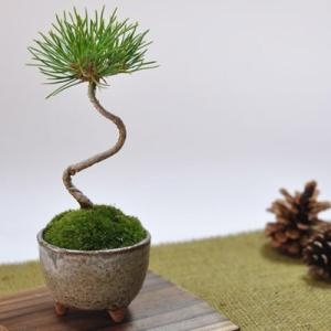 かわいい盆栽 くろまつミニミニ鉢 癒されるミニ植物|bonsaimyo