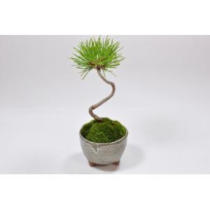かわいい盆栽 くろまつミニミニ鉢 癒されるミニ植物|bonsaimyo|02