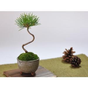 かわいい盆栽 くろまつミニミニ鉢 癒されるミニ植物|bonsaimyo|04