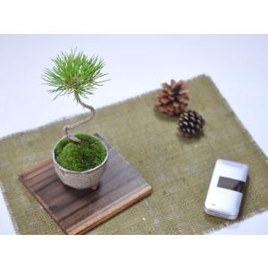 かわいい盆栽 くろまつミニミニ鉢 癒されるミニ植物|bonsaimyo|05
