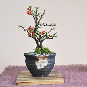 「盆栽~BONSAI~」を始めて、日本の魅力を再発見!