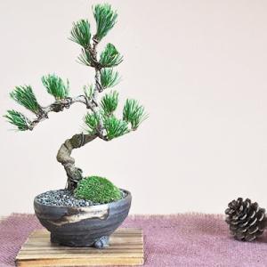 四国五葉松の盆栽 四国ブランドの人気の松盆栽がお手頃価格で。