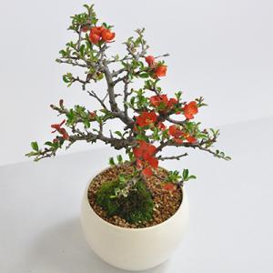 母の日 盆栽 枝ぶりの良い本格的なお花盆栽 天然石の敷物付き 四季咲き 盆栽 花 特選長寿梅 高級 初心者 母の日 プレゼント ラッピング メッセージカード bonsaimyo