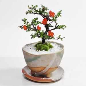 母の日 盆栽 盆栽 長寿梅 信楽焼 白掛 受け皿付き  手作り鉢 育て方冊子 肥料付き 鉢植え 花 プレゼント ギフト 贈り物 bonsaimyo