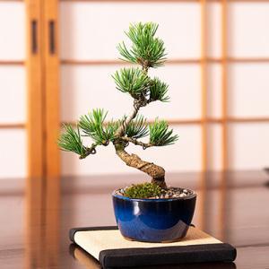 盆栽 松 ミニ 五葉松 丸小鉢  樹齢 5年 本場四国 ブランド 人気 ランキング 60代 70代 bonsai ぼんさい 鉢植え 植物 和 癒し