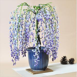 降り注ぐシャワーのように花を咲かせる藤の盆栽です。つる性の植物です。紫の落ち着いた雰囲気の花がとても...