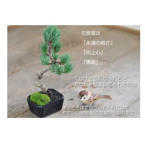 盆栽お試し 初めてのミニ盆栽五葉松。説明書と肥料付き【到着後レビューを書いて送料無料】|bonsaimyo|04