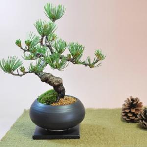 枝ぶりの良い五葉松の盆栽 丸和鉢仕立て 上品な趣と情緒あふれ...