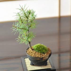 カラマツ 落葉する松の盆栽 唐松の盆栽 ギフト 盆栽 開店 ...