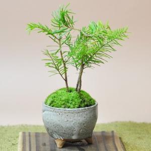 とどまつミニミニ鉢 北海道の盆栽 トドマツ 涼し気な葉が魅力 南国風 ギフト 盆栽 開店 お祝い 退職 ラッピング 母の日 父の日 敬老の日 誕生日