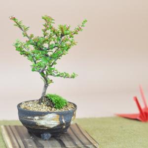 紅紫檀(べにしたん) 小さくてかわいい実のなる盆栽 ベニシタンのミニ盆栽 ギフト 盆栽 開店 お祝い 退職 ラッピング 母の日 父の日 敬老の日 誕生日