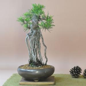 個性的な根上りの樹形に枝の配置、黒松としては非常に珍しい一樹です。鉢の上に独特の世界観を表現した芸術...