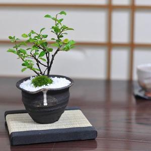 【父の日】父の日に贈るミニ長寿梅の盆栽 説明書&肥料...