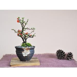 盆栽 花と松のペアセット ミニ長寿梅と五葉松の...の詳細画像2