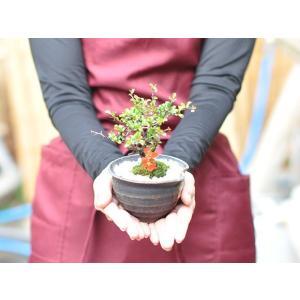 盆栽 花と松のペアセット ミニ長寿梅と五葉松の...の詳細画像3