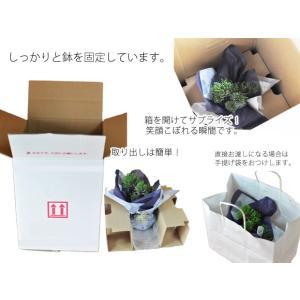 盆栽 花と松のペアセット ミニ長寿梅と五葉松の...の詳細画像5