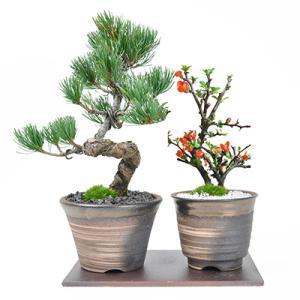 【母の日 父の日】盆栽 花と松のペアセット ミニ長寿梅と五葉...