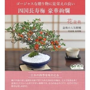 盆栽 高級 四国長寿梅 豪華絢爛 一級品 職人仕立て bonsaimyo