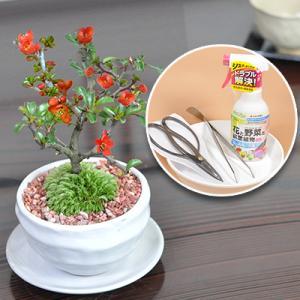 母の日 盆栽 道具 セット 天然石の敷物付き 花 長寿梅 ミニ盆栽 盆栽鋏 キット 初心者 bonsaimyo