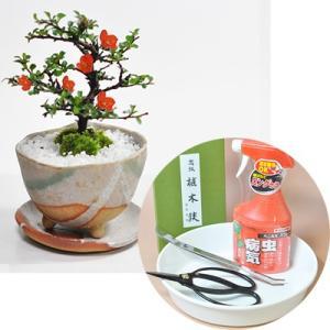 【母の日】長寿梅の盆栽とはじめての道具セット 受け皿付き...