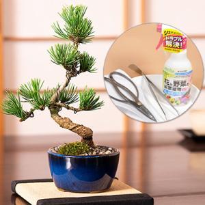 【父の日のプレゼント】ミニ五葉松の盆栽とはじめての道具セット...