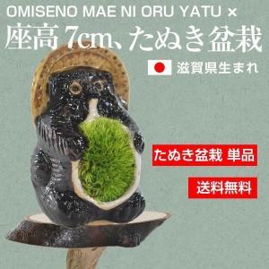 たぬき盆栽 苔ポン太 子狸 送料無料 bonsaimyo