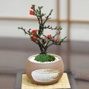 母の日 盆栽 花 長寿梅 ミニ盆栽 万古焼 ハケメ丸 3号 天然石の敷物付き 人気 ランキング 60代 70代  育て方冊子 肥料付き 花 鉢植え ラッピング bonsaimyo
