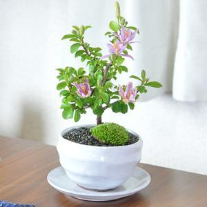 【母の日】ミニ睡蓮木 白丸陶器鉢 万古焼 受皿付き bonsaimyo