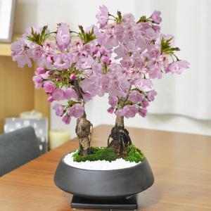 【母の日】5月開花 桜の2本立ち 漆黒浅丸 受け皿付き 鉢植え 花盆栽 ギフト 贈り物  開花調整 bonsaimyo