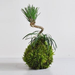 【苔玉】ミニミニ黒松と玉竜の苔玉