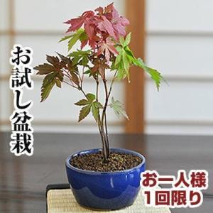 盆栽 ミニ お試し初めてのミニ盆栽もみじ。  ■初めて盆栽をされる方におすすめのもみじミニ盆栽です。...