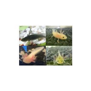 ウーパールーパー【4色4匹】4〜6cm前後