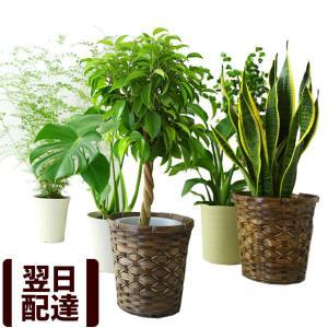 選べる12種類 観葉植物【インテリアグリーン 6号鉢 カゴ付き ベンジャミン モンステラ パキラ フィカス ドラセナ 幸福の木】|bunbunbee