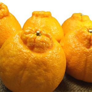 紀州和歌山有田産 ワケありデコポン ご家庭用 約3kg|bunza